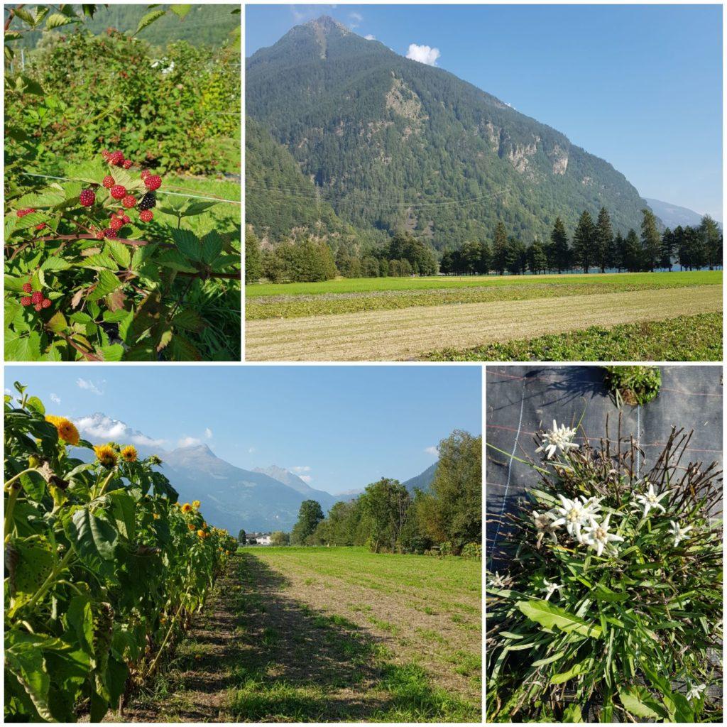 pola z ziołami Raselli