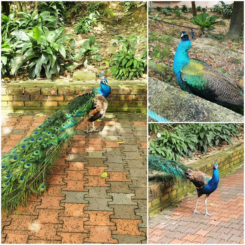 KL Park Ptaków - pawie