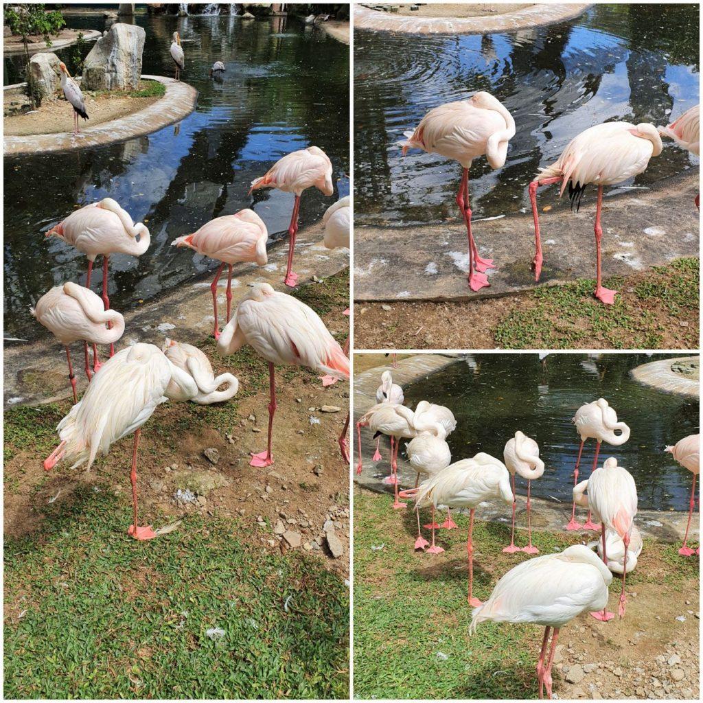 Zwiedzić Kuala Lumpur vol 3 flamingi