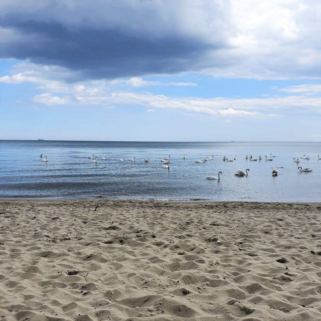 łabędzie na plaży